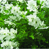 фото Экзохорда (Струноплодник) садовые декоративные кустарники и деревья.